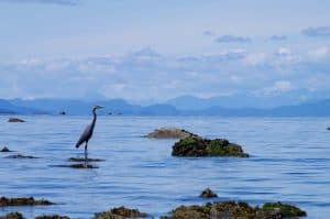 Great blue heron waiting in shallow waters at Seal Bay Park, Comox Valley, Vancouver Island, British Columbia, Canada
